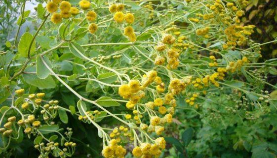 Kvapai ir sveikata iš senųjų augalų