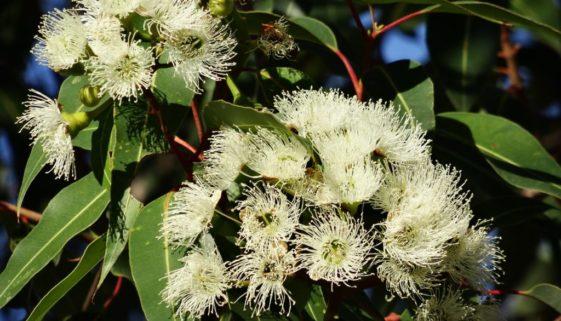 eucalyptus-flower-777903_1920