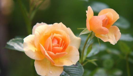 rose-616013_1920