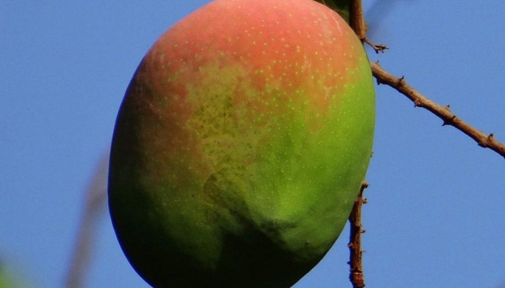 mango-321121_1920