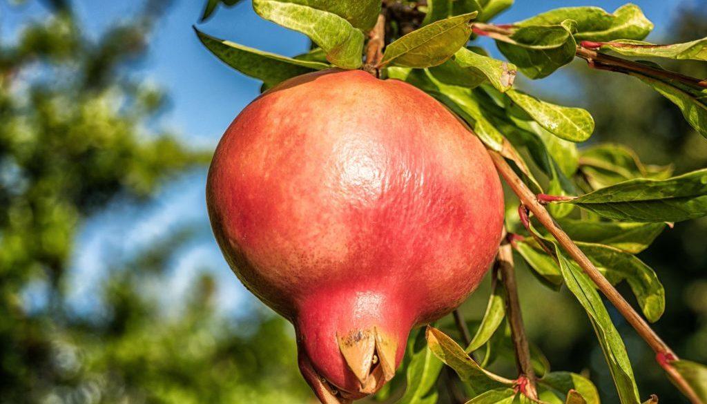 pomegranate-1710078_1920