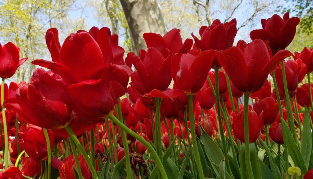 tulip-3350504_1920