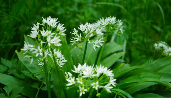 bears-garlic-474317_1920