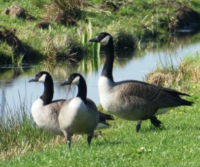 canadian-goose-4080548_1920