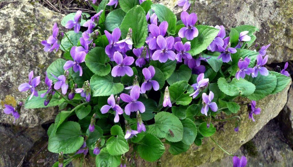violet-2166455_1920