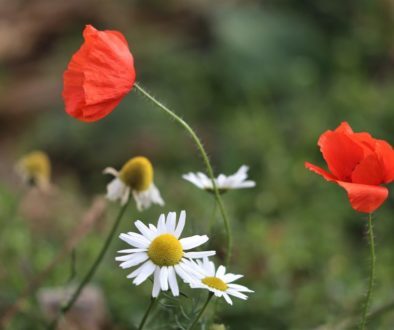 red-poppy-and-chamomilla-3778181_1920
