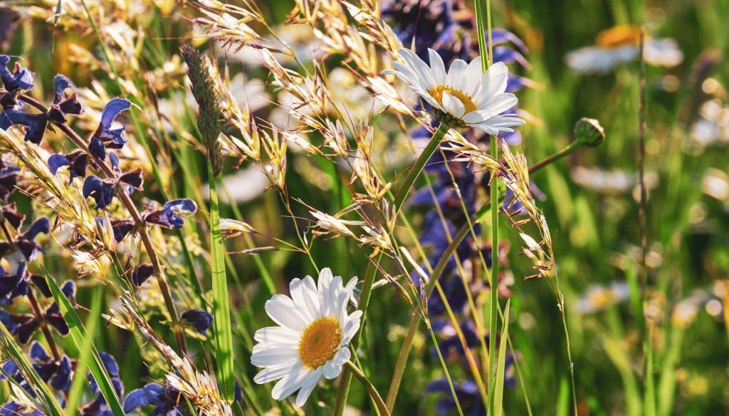 daisies-3430133_1920