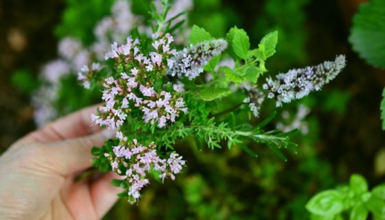 culinary-herbs-2614245_1920