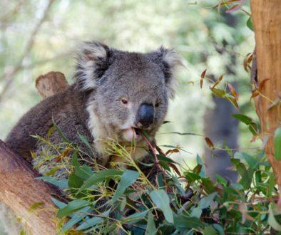 koala-3690655_1920